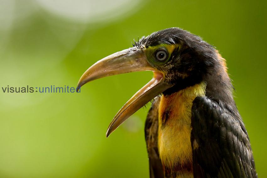 Collared Aracari (Pteroglossus torquatus), Costa Rica.