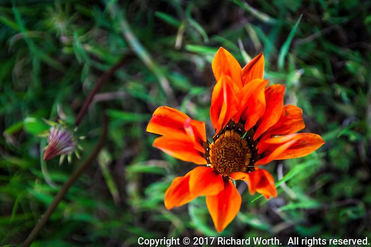 Bright orange flower along a trail near the Bay Farm Island Bridge, Alameda, California.