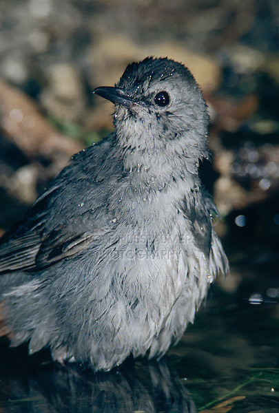 Gray Catbird, Dumetella carolinensis, adult bathing, High Island, Texas, USA, April 2001
