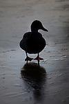 Mallard on a frozen pond. Winter in Vondelpark, Amsterdam
