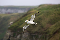 Northern Gannet in Flight at Bempton