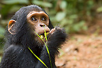 Juvenile Male Eastern Chimpanzee, Gimli eating fruit.(Pan troglodytes schweinfurthii).Gombe National Park