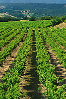 Rows of grape plants in vineyard, Goult de Provence, France