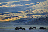 American Bison, Bison bison, Lamar valley, Yellowstone National Park, Wyoming, USA