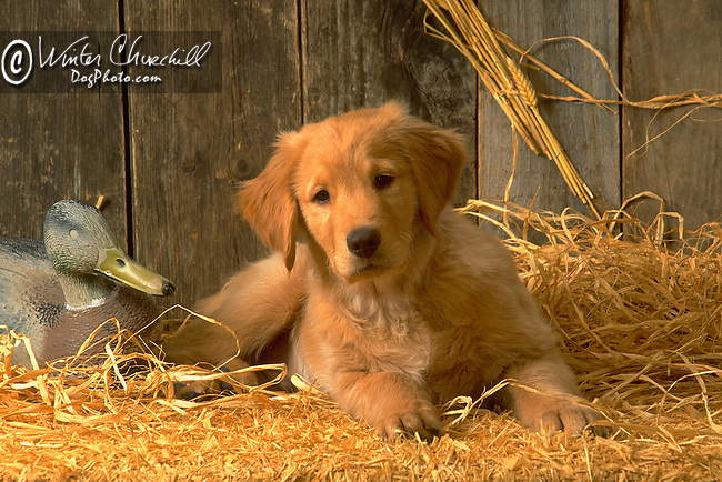 Golden Retriever puppy<br />