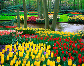 Tom Mackie, FLOWERS, photos, Spring Garden, Keukenhof Gardens, Lisse, Holland, GBTM990365-3,#F# Garten, jardín