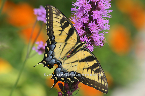 Eastern Tiger Swallowtail On Blazingstar, Papilio glaucus Linnaeus