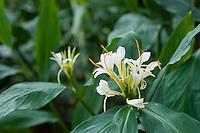 Hedychium x Corelli