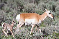 Pronghorn and fawn. Again, nice and crisp and good exposure, but she need room to move into.