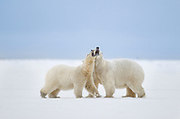 Polar bears interact along the shore of a barrier island in Alaska's Beaufort Sea, Arctic National Wildlife Refuge.