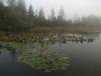 Floating lily pads in early morning mist at Siltcoos Lake near Florence, Oregon.