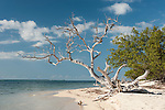 Gardens of the Queen, Cuba; a dead tree growing out of the sandy beach at the edge of the Caribbean Sea