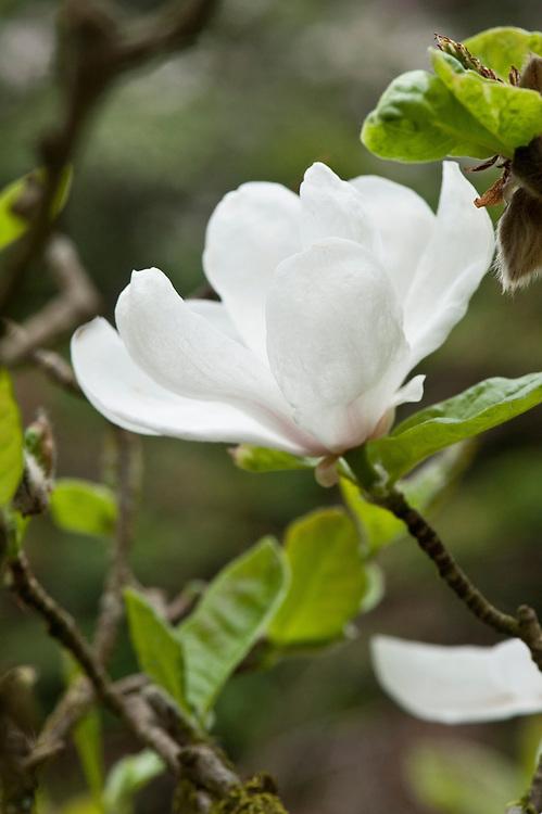 Magnolia kobus 'Norman Gould', mid April.