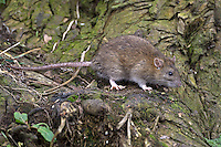 Brown Rat Rattus norvegicus Length 30-50cm Familiar rodent with omnivorous diet. Swims and climbs well. Adult recalls an outsized mouse but with a larger, plumper body, shorter ears, shorter legs (but larger feet) and a thicker tail. Fur is coarse and mainly brown, grading to grey on underparts. Tail looks scaly with sparse bristles. Utters agonising screams in distress. First reached in Britain in 1720 as a stowaway on boats. Now widespread and abundant especially in areas where food is discarded.
