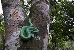 Side Striped Palm Pit Viper Snake, Bothriechis lateralis, relatively slender with have a prehensile tail, Costa Rica and western Panama, venemous, coiled in tree.Central America....