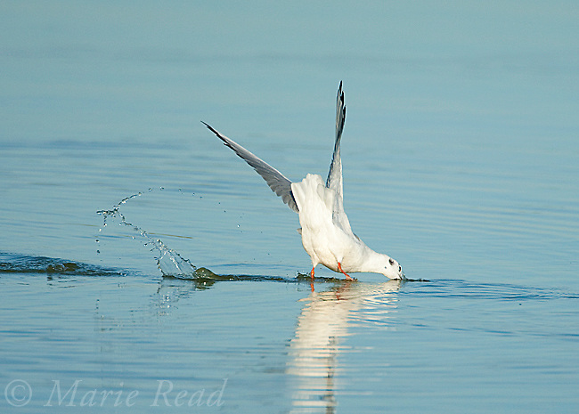 Bonaparte's Gull (Larus philadelphia), diving after a fish, East Harbor State Pk, Lake Erie, Ohio, USA