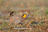 00842-03613 Greater Prairie-Chicken (Tympanuchus cupido) male booming/displaying on lek Prairie Ridge State Natural Area Jasper Co, IL