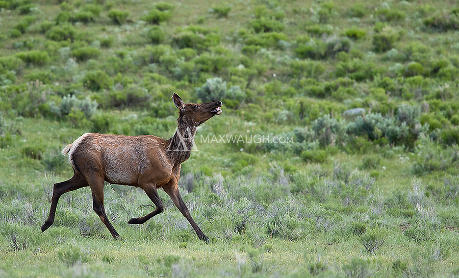 A cow elk trots across the flats.  I believe it may have been fleeing a wolf, as one was spotted nearby around the same time.