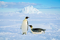 emperor penguin, Aptenodytes forsteri, Cape Washington, Ross Sea, Antarctica