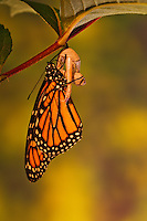 Monarch butterfly (Danaus plexippus) dries wings shortly after emergence from chrysalis.