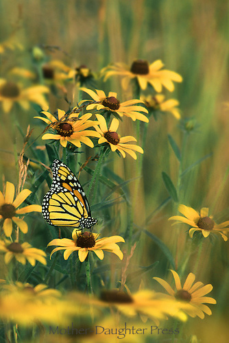 Monarch and black-eyed susans