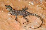 Rock Gecko (Pristurus insignoides) endemic to Socotra, Yemen