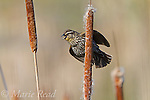 Red-winged Blackbird (Agelaius phoeniceus) female calling and performing wingspread display  in spring, New York, USA