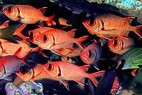 big-scale soldierfish, menpachi, Myripristis berndti, French Frigate Shoals, Papahanaumokuakea Marine National Monument, Northwestern Hawaiian Islands, USA, Pacific Ocean