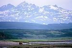 Brown bear (Ursus arctos), McNeil River Bear Sanctuary, Alaska, USA