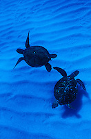 Two Green Sea Turtles swim together in Hawaii's pristine blue waters.