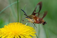 Hummingbird Clearwing Moth (Hemaris thysbe) preparing to nectar on dandelion.  North America.  Summer.