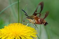 Hummingbird Clearwing Moth (Hemaris thysbe) preparing to nectar on dandelion.  North America.  Summer.
