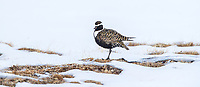 A male Golden Plover arrives on its breeding grounds on the Arctic tundra when snows are not uncommon.