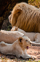 Pride of white lions, Lion Park, near Johannesburg, South Africa. The white lion is a rare color mutation of the Timbavati region of South Africa.