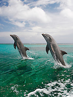 qk0566-Dv. Bottlenose Dolphins (Tursiops truncatus). Honduras, Caribbean Sea..Photo Copyright © Brandon Cole. All rights reserved worldwide.  www.brandoncole.com..This photo is NOT free. It is NOT in the public domain. This photo is a Copyrighted Work, registered with the US Copyright Office. .Rights to reproduction of photograph granted only upon payment in full of agreed upon licensing fee. Any use of this photo prior to such payment is an infringement of copyright and punishable by fines up to  $150,000 USD...Brandon Cole.MARINE PHOTOGRAPHY.http://www.brandoncole.com.email: brandoncole@msn.com.4917 N. Boeing Rd..Spokane Valley, WA  99206  USA.tel: 509-535-3489