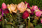 Roses decaying in a group on green grass