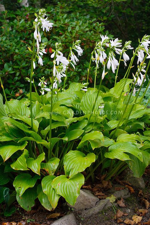 Hosta Royal Standard In Bloom Plant Flower Stock Photography