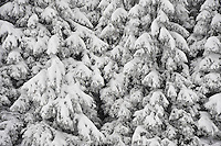 Snow covered spruce tree, Zug, Switzerland, December 2007