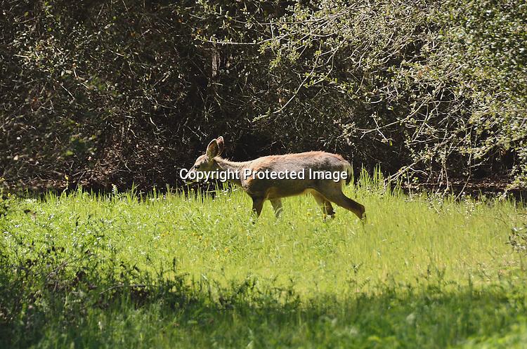 Stock photo mule deer grazing in field of grass