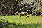 Stock photo mule deer grazing in field of grass