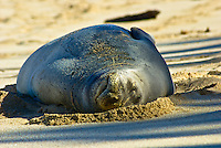 A monk seal sleeps in the sand along the shoreline of Sunset Beach, on the North Shore of Oahu.