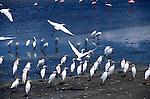 Cattle Egret (Bubulcus ibis) Africa