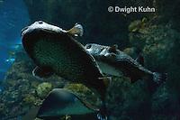 TP14-501z  Starry Pufferfish, Arothron stellatus