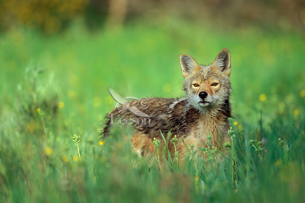 Wild coyote (Canis latrans) checks out photographer (in a blind) while surrounded  by wildflowers.  Western U.S.,  June.