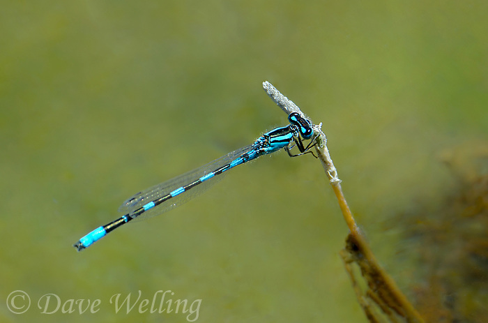 320190010 a wild male arroyo bluet enallagma praevarum percheson a small plant stem over a small stream in eastern modoc county california