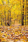 Autumn's Golden Crown in a Southwestern Ontario Forest