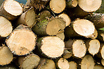 Stack of cut pine logs showing tree growth rings