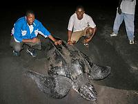 locals with nesting leatherback sea turtle, Dermochelys coriacea, Dominica, West Indies, Caribbean, Atlantic
