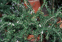 Rosmarinus officinalis 'Prostratus' in pot container herb prostrate rosemary