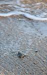 The natural selection is ruthless. Only one baby in 1000 and 2000 will reach adulthood...Once in the water, baby turtles feed on zooplankton for months. When they reach the size of 35 cm, they will eat grass and marine plants.....La sélection naturelles est impitoyable. Seulement un bébé sur 1000 à 2000 atteindra l'âge adulte..Une fois dans l'eau, les bébés tortues se nourrissent de zooplancton pendant des mois. Lorsquelles atteignent la taille de 35 cm, elles vont manger des herbes et plantes marines. ..